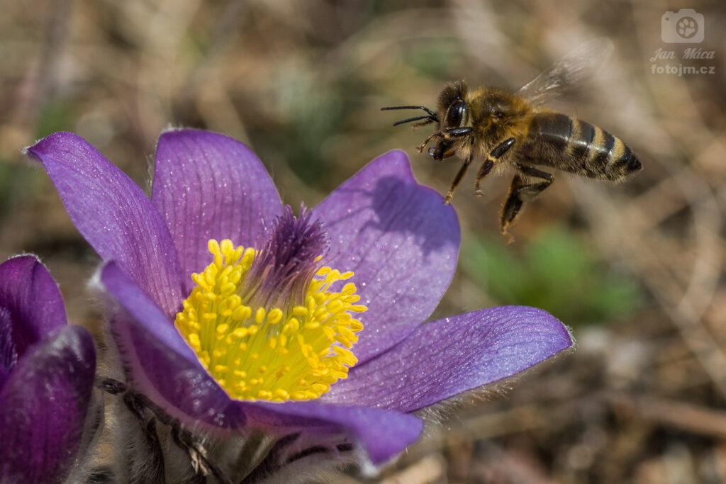 Včelka na květu koniklece