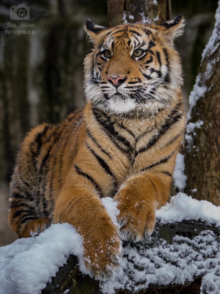 Tygr sumaterský v zimě
