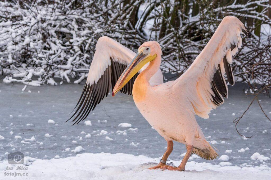 Pelikán v zimě
