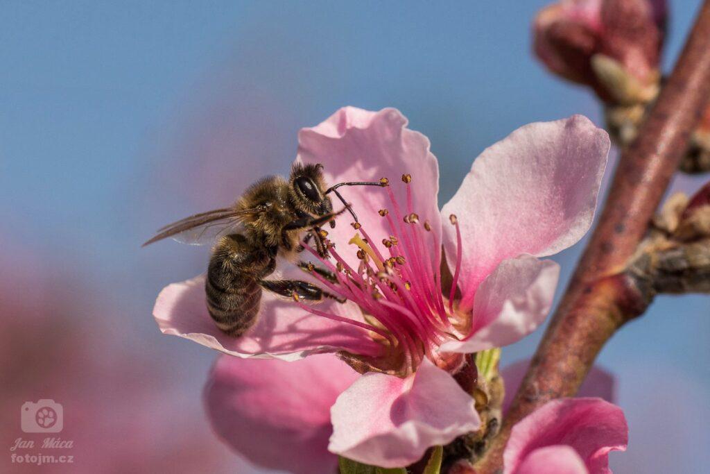 Včelka na broskvi