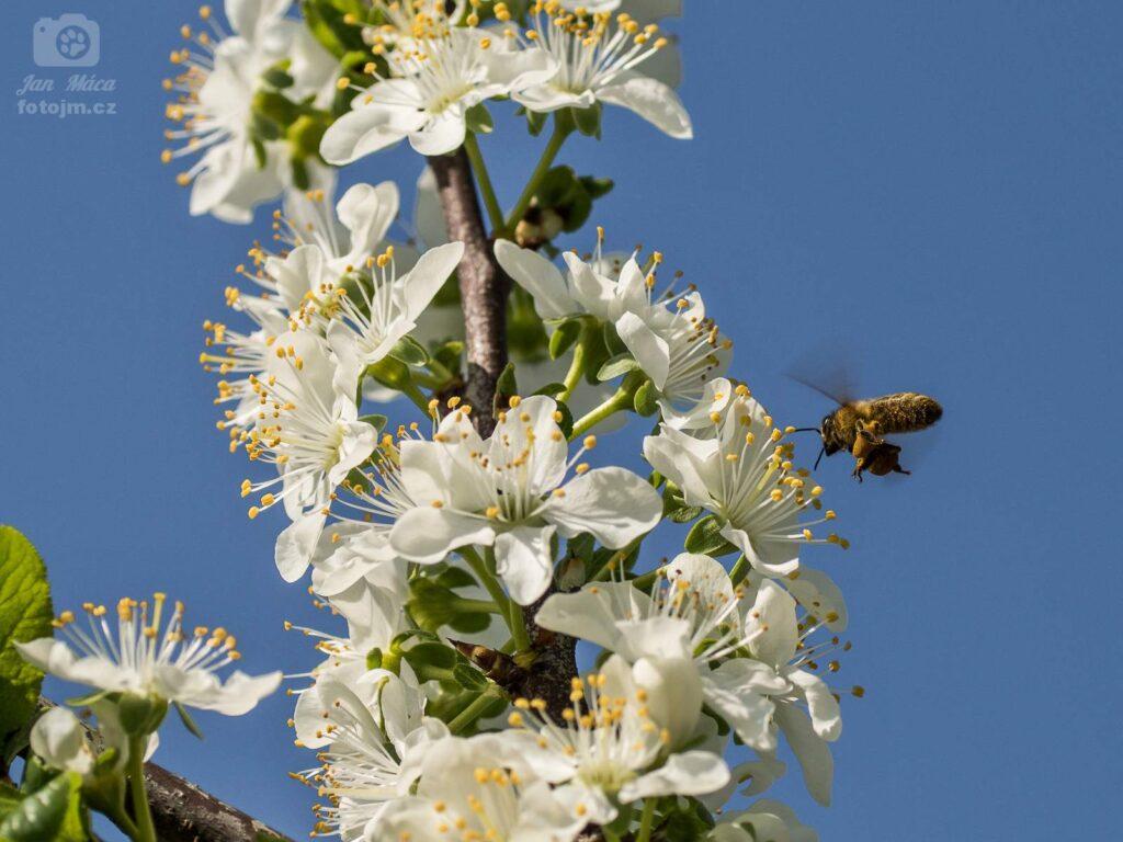 Včelka na švestce