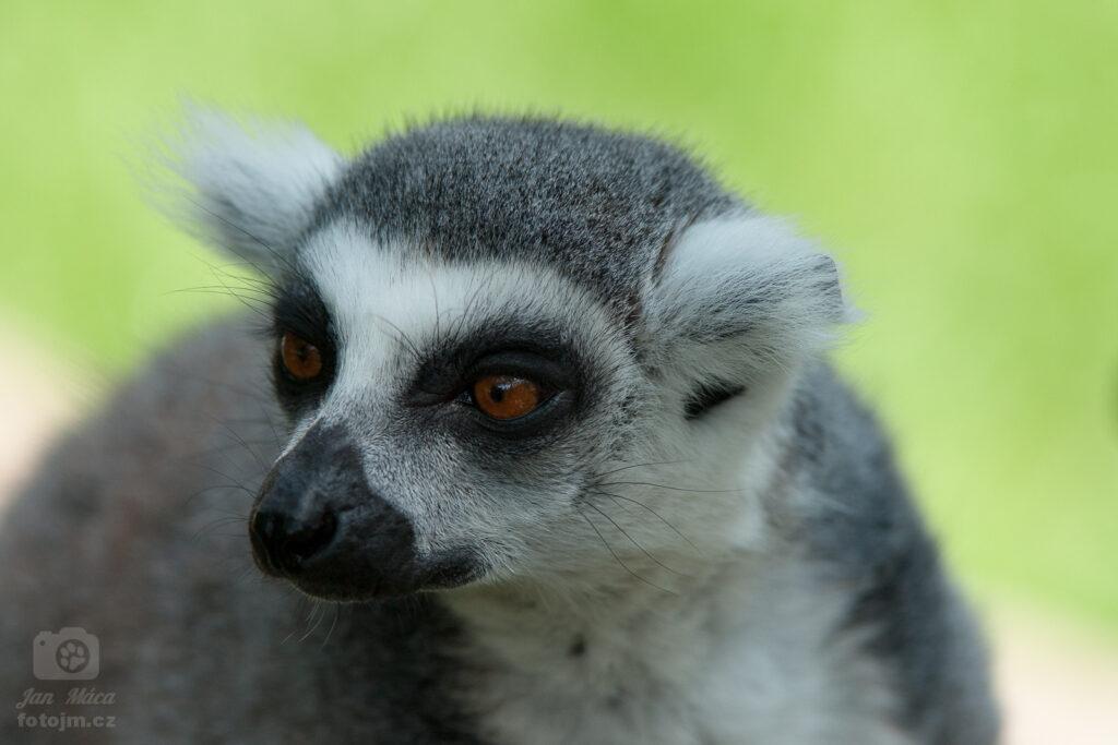 Lemur kata
