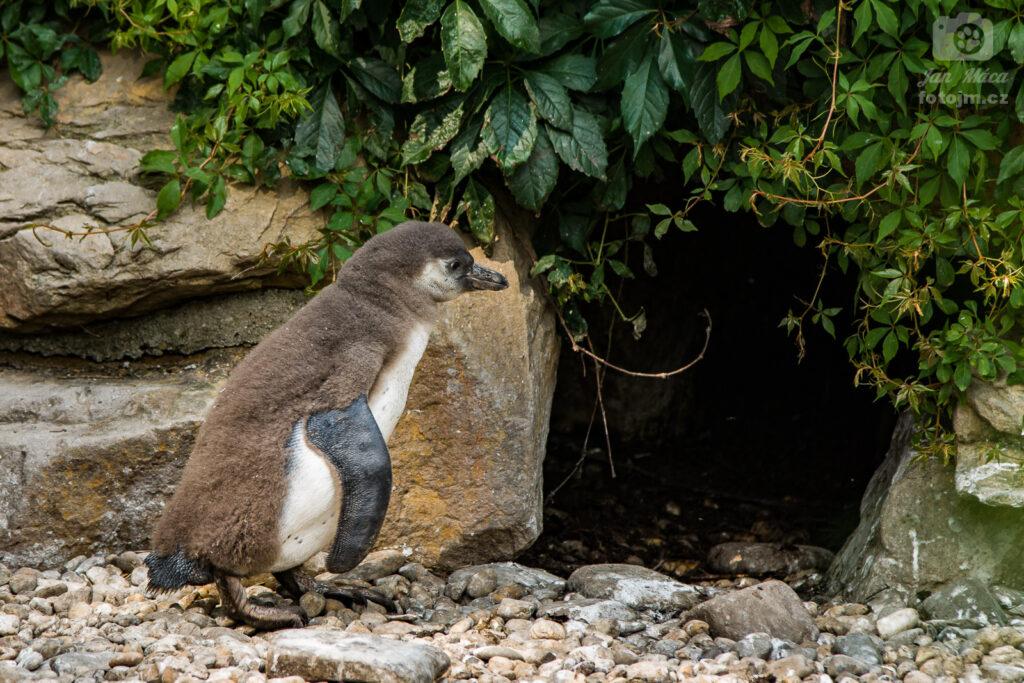 Tučňák Humboldtův - mládě