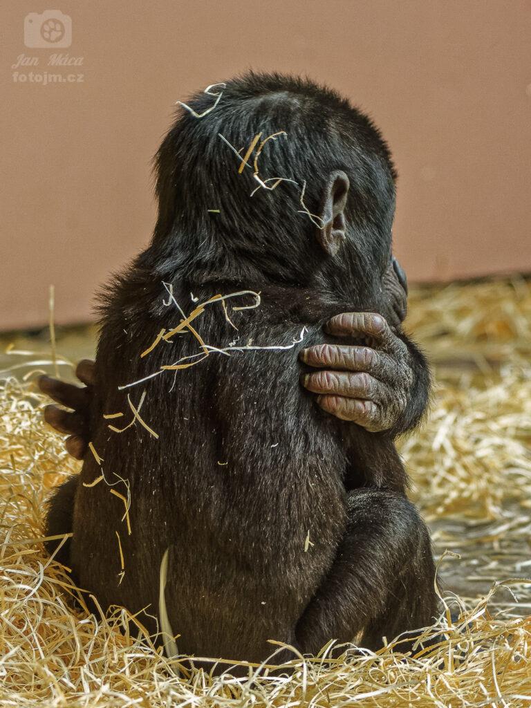 Gorila - malý Ajabu