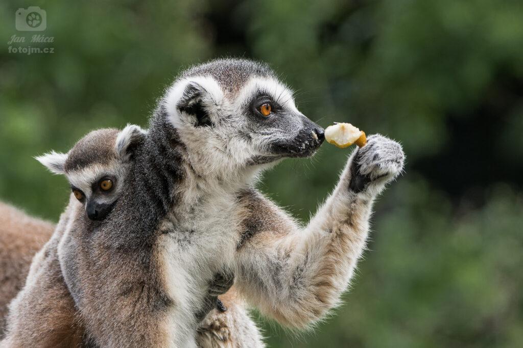 Lemur kata s mládětem