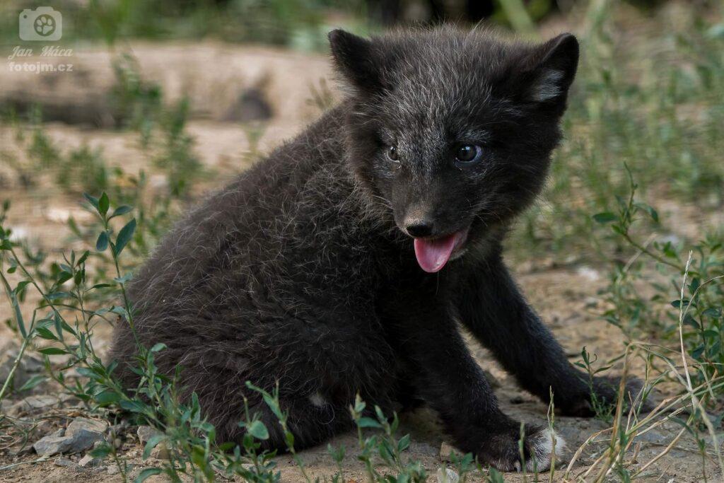Liška polární - mládě