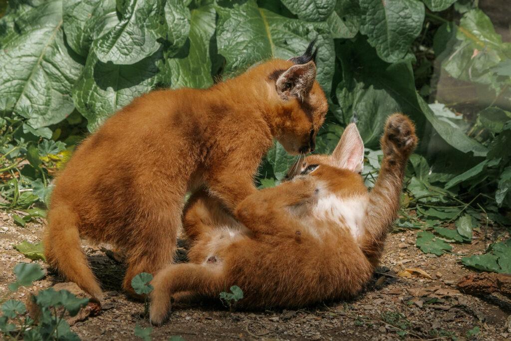 Karakal - koťata