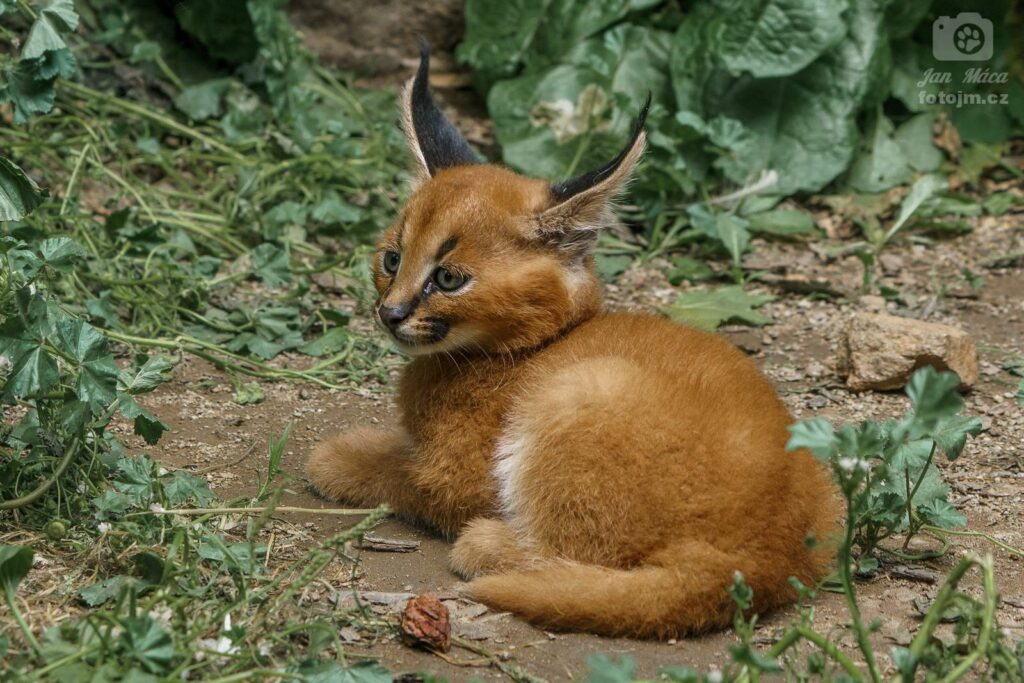 Karakal - mládě