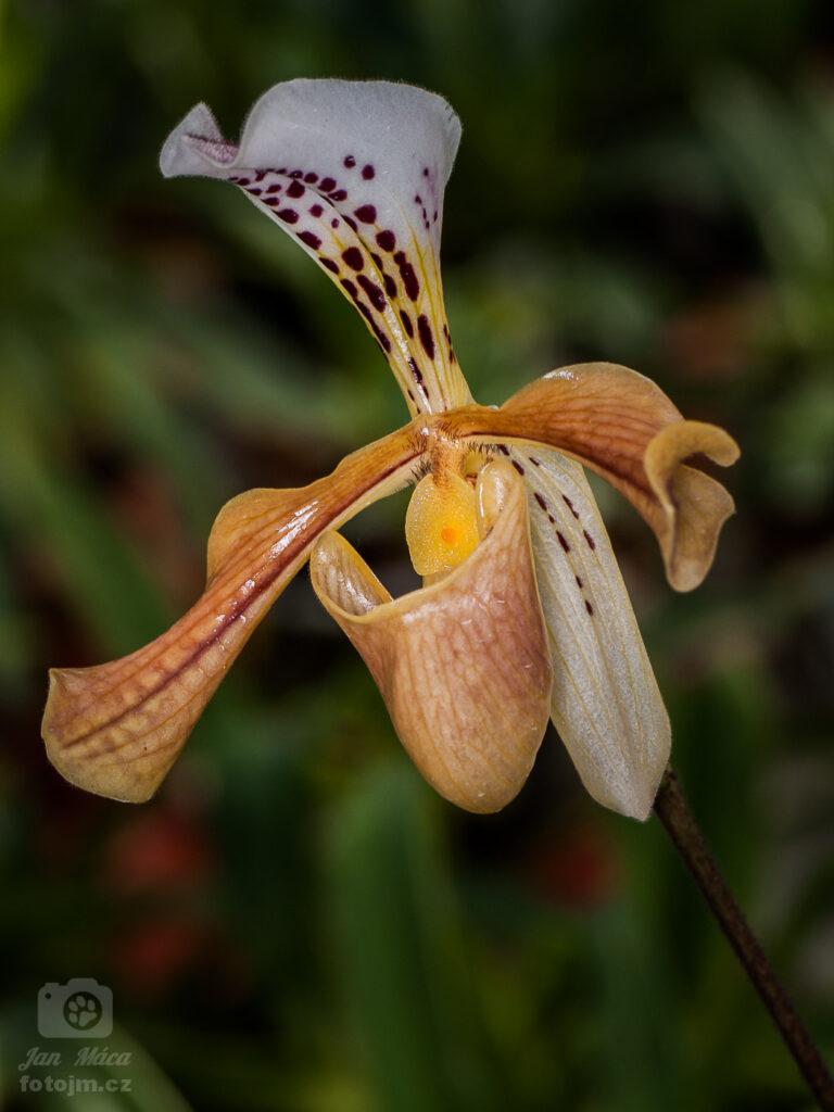 Orchidej z arboreta MENDELU