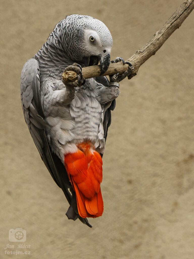 Žako šedý