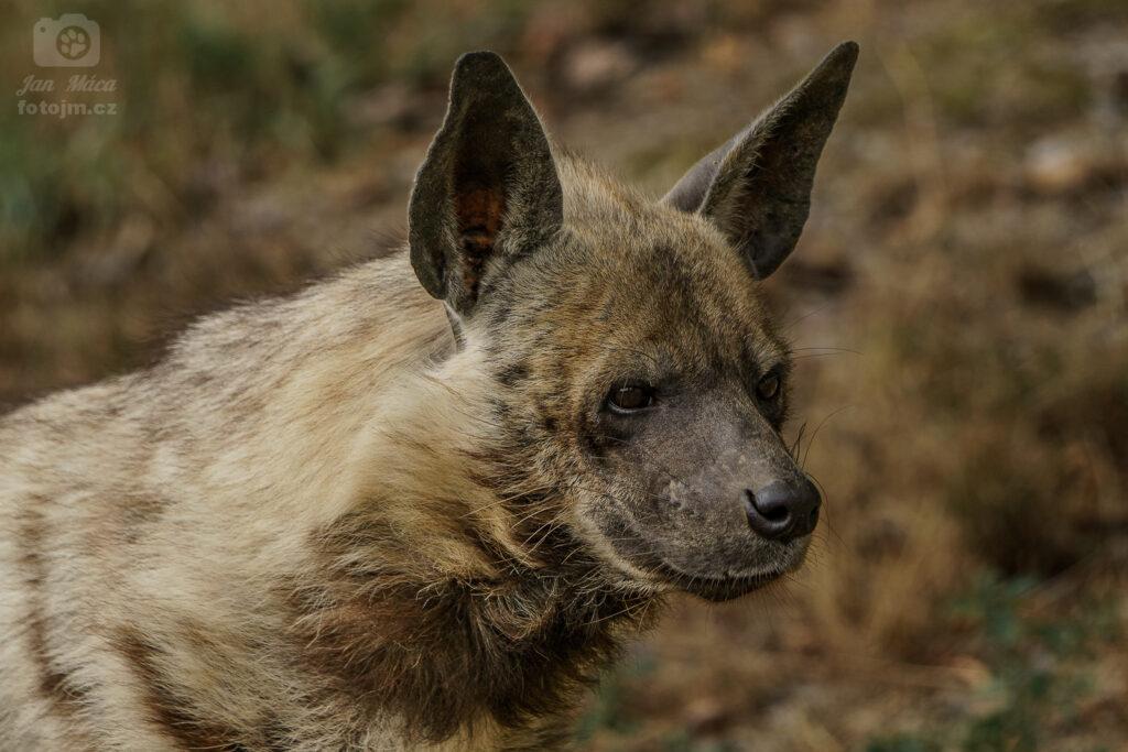 Hyena žíhaná arabská