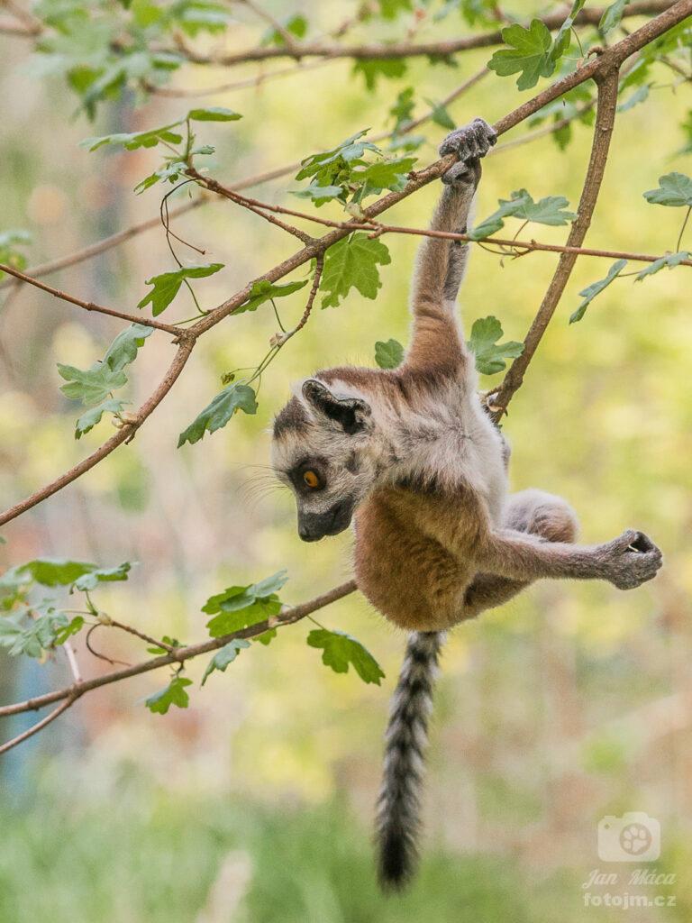 Lemur kata - mládě