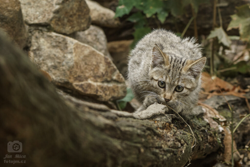 Kočka divoká - mládě