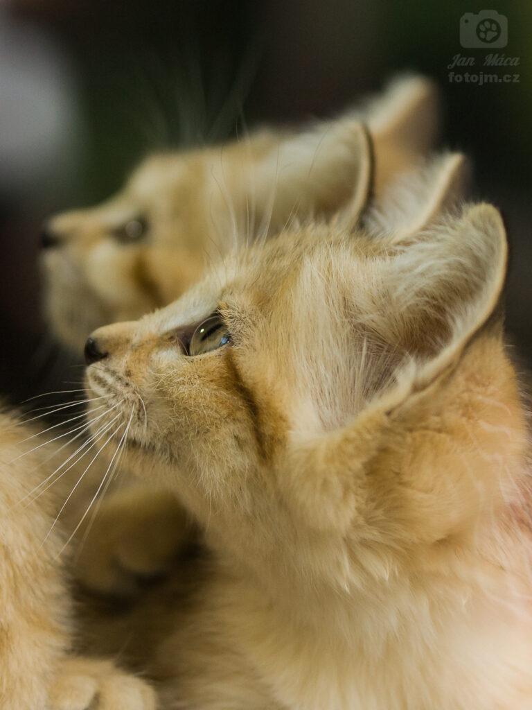 Koťata kočky pouštní