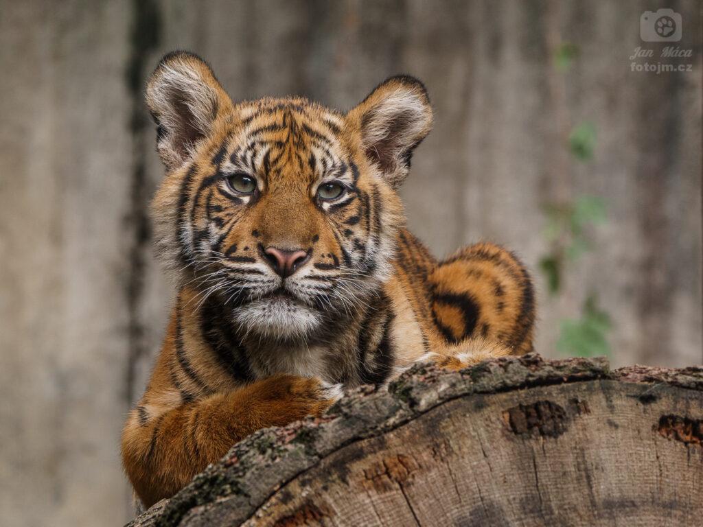 Tygr sumaterský - mládě