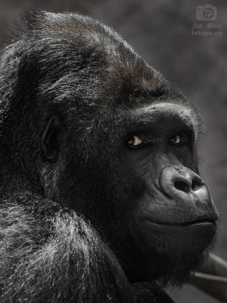 Gorila - velký šéf Richard