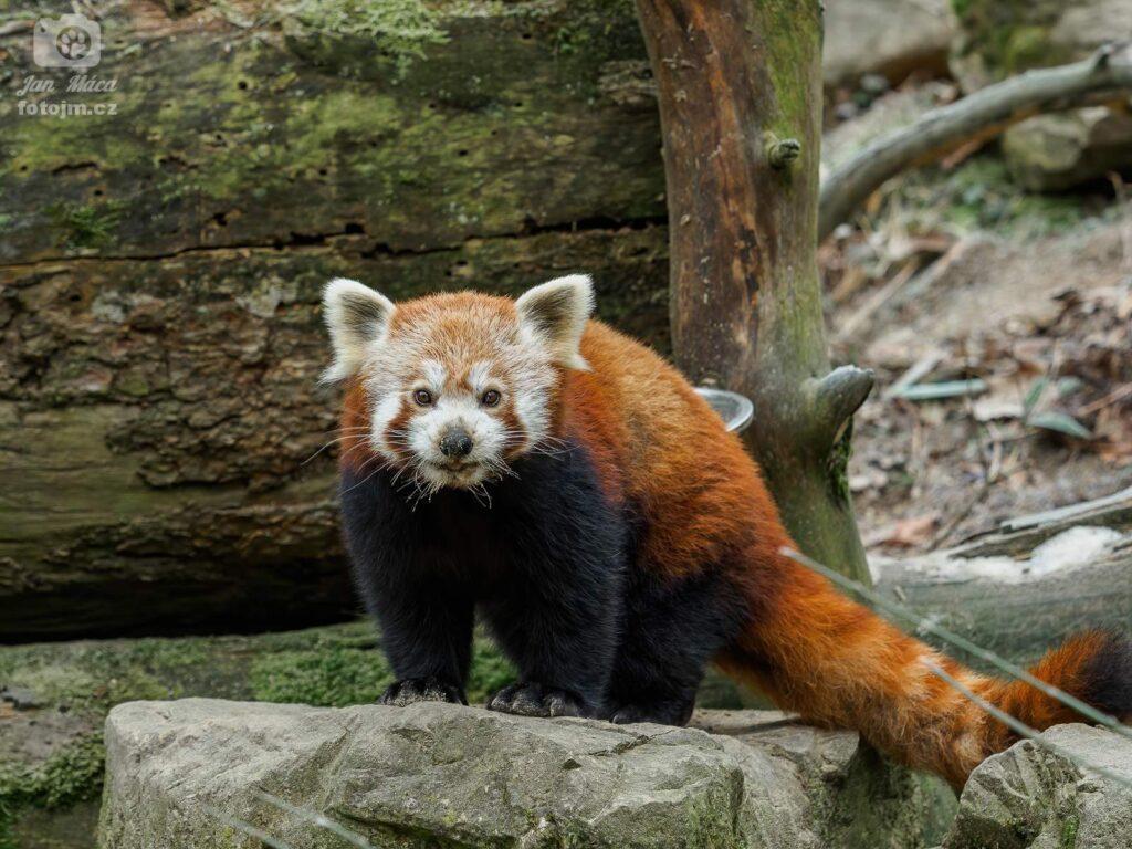 Panda červená právě po obědě