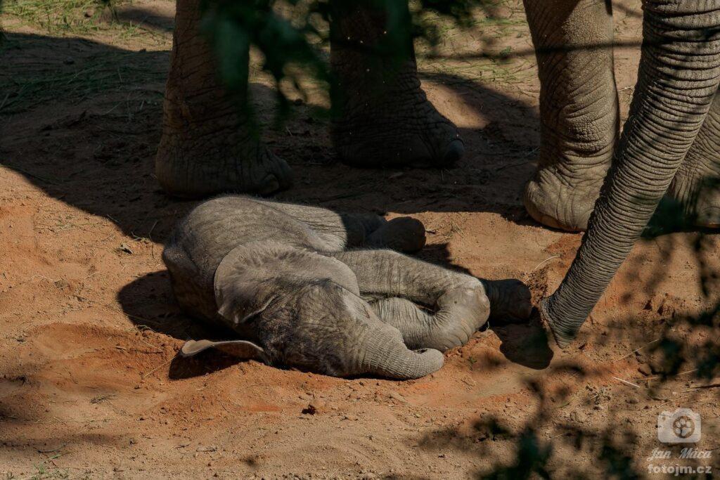 Mládě slona afrického