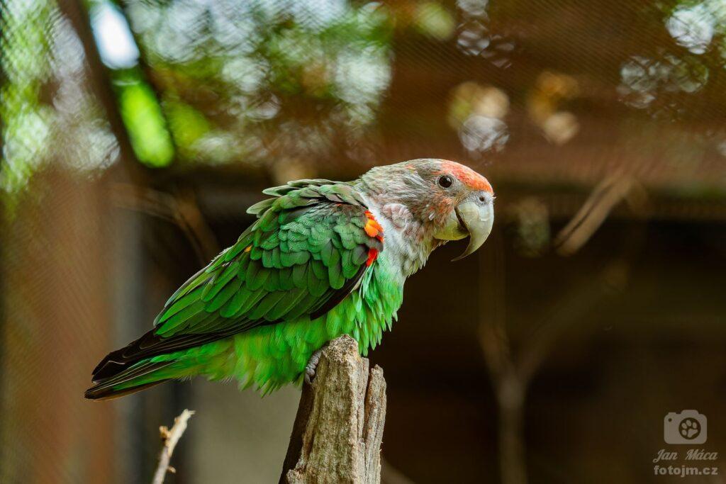 Papoušek šedohlavý