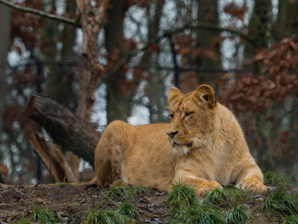 Lev konžský - samice