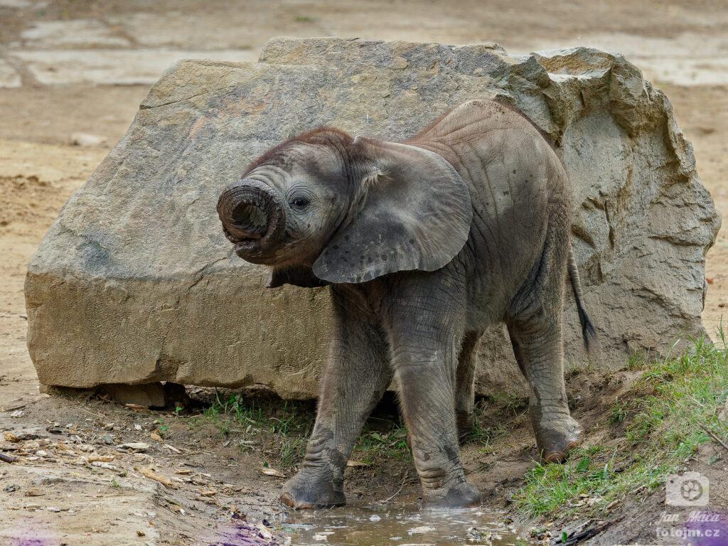 Slon africký - mládě